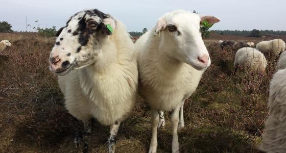 owce na hali