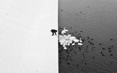 A Man Feeding Swans in the Snow by Marcin Ryczek, 2013
